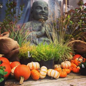 Big Buddha is ready for fall.  Photo courtesy of Sunnyside Nursery.