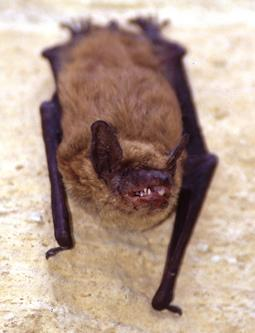 Big Brown Bat. Photo credit: Ty Smedes.