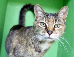 "Our cat of the week Disco really loves the musical genre she's named after and she's looking for someone to sing ""We are Family"" with her. She's so spunky she'd probably start dancing too! This eight year old torbie is one fantastic feline. She's outgoing, friendly and fun."