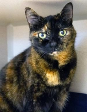 This stunning gal is our cat of the week Nicki! She's a ten-year-old tortoiseshell kitty who can't wait for adventures in her new home with her favorite people. Nicki can be quite the independent feline, but does enjoy face rubs once she gets to know her human friends.