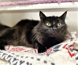 Our cat of the week Pixel is a spirited two-year-old ball of fluff and she's looking for her fresh start! Pixel is a truly fun cat. She's full of spunk and will provide her humans hours of entertainment while she darts around the house, chasing toys and showing off her agility.
