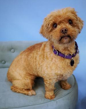 Dolly is a lovely six-year-old Lhasa Apso-Wheaton Terrier mix. Photo courtesy of Homeward Pet.