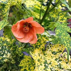 A Flowering Abutilon, sometimes known as a Flowering Maple can be enjoyed from Spring until Fall.  Photo courtesy of Sunnyside Nursery.