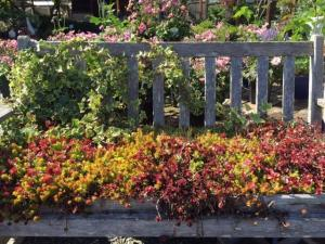 Have a seat with some sedums.  Photo courtesy of Sunnyside Nursery.
