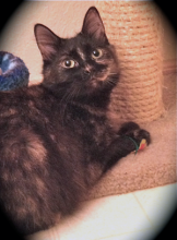 Rainy is a beautiful medium haired tortoiseshell kitty, about 10 months old. Rainy's family was homeless and living in their car. They had the opportunity to go to a homeless shelter, but they couldn't take their beloved companion.