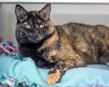 One look in her direction and the purring starts. It's a deep and loud purr that will make your heart melt. Our cat of the week Alana is a lovey-dovey tortoiseshell kitty with a lot of love to give her new family. At six years old, Alana is the perfect blend of affectionate and playful.