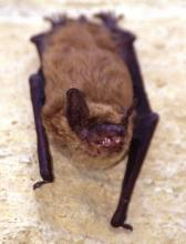 Big Brown Bat. Photo credit: Ty Smedes