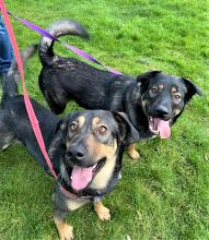 The best things in life come in pairs – like peanut butter and jelly, chips and dip, Miss Piggy and Kermit. And so do these brothers! Our dogs of the week Bubba and Magnus are a bonded pair of siblings ready to add tons of spunk, joy and silliness into your home.
