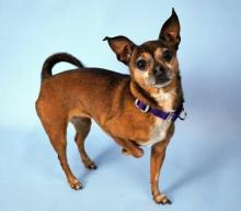 Meet Chi Chi at Homeward Pet today! Photo courtesy of Homeward Pet.