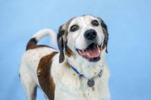 Cooper is easy-going, friendly and eager to please. Photo courtesy of Homeward Pet.