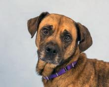 Hazel is a six-year-old boxer mix who is a gentle soul.  Photo courtesy of Homeward Pet.