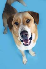 Our dog of the week Miller is not only big in size, he's big in personality too! This Anatolian Shepherd mix is large and in charge. He's outgoing, friendly, energetic, smart, and enthusiastic; the list could go on and on. Miller may be three-years-old, but he still has the spunky personality of a much younger dog