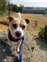 Charlie is an adorable three-year-old Jack Russell Terrier - Chihuahua mix. Photo courtesy of Homeward Pet.