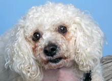 Phoebe is eleven years old and is a mellow, house trained Miniature Poodle and loves to cuddle up with her people.