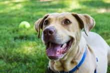 Ruby is a five-year-old lab mix who will be your partner through life.  Photo courtesy of Homeward Pet.