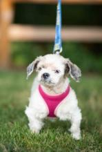 Rainy days are coming, it's a fact when you live in the PNW, but Susie can help brighten up those cloudy days! Susie is an adorable 13-year-old Shih Tzu mix with a face that radiates sunshine.