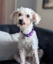 At 15-years-old, Johnny has seen and done a lot, and now he's ready for a slower pace. Snuggly naps on the sofa with his humans, and strolls around the neighborhood to sniff and explore to his heart's content.