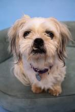 Keko is a darling eight-year-old Shih Tzu mix who is hard to resist with his toothy grin, fluffy ears and big eyes.