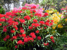 Springtime has arrived and the multitudes of Rhododendrons are blooming….. Our state flower shines in every color imaginable – but what I am here to remind you of is one old adage – flowers come and flowers go - so discover the different foliages of Rhododendrons!
