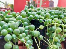 String of Pearls. Photo courtesy of Sunnyside Nursery.