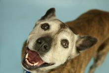 Tiger is a Shepherd mix with a loving soul and gentle disposition.  Photo courtesy of Homeward Pet.
