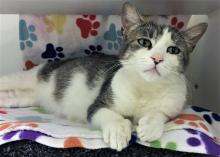 Our cat of the week Velma wears a bit of a sad expression on her face, but this darling grey and white tabby has not even an ounce of sadness in her! She's friendly, outgoing and ready to share her life with her special someone.