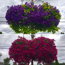 Beautiful Big Baskets!  Photo courtesy of Sunnyside Nursery.