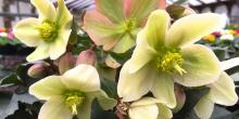 Beautiful Hellebores. Photo courtesy of Sunnyside Nursery.