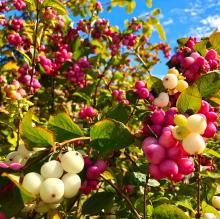 "Snowberries; ""Galaxy"" is the white, and ""Candy"" is the pink. Photo courtesy of Sunnyside Nursery."